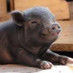 Cuanto dura el embarazo de un cerdo vietnamita