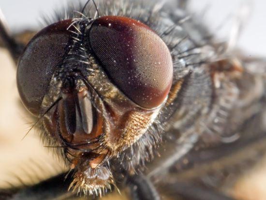 Cuantos ojos tiene una mosca comun