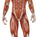 Cuantos musculos tiene el cuerpo humano en total