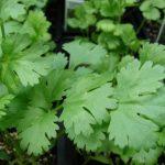 Cuanto dura en nacer el cilantro