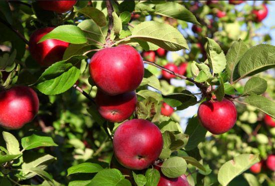 Cuanto tarda un arbol de manzana en crecer