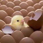 Cuanto tarda un huevo de gallina en nacer
