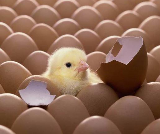 Un pollo tarda 21 en nacer